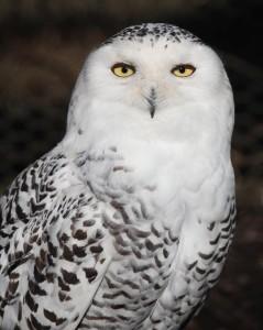 snowy_owl  ふくろう4