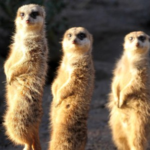 three_meerkats-300x300